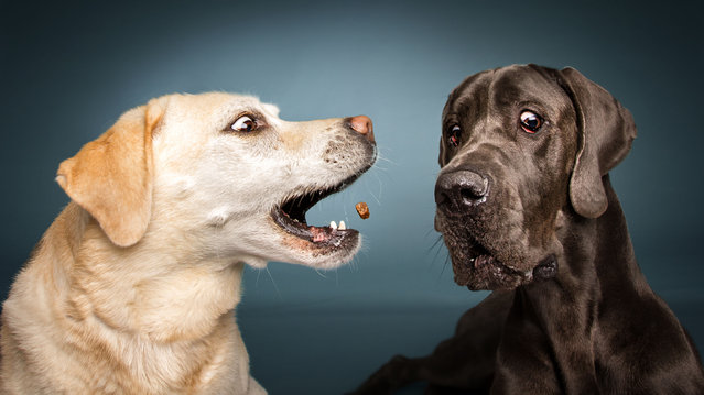 Labrador and Great Dane. (Photo by Vieler Photography/Caters News Agency)