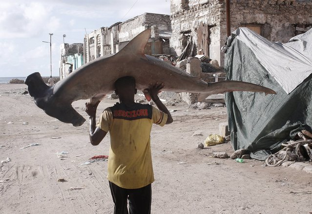 Somalian fisherman carries hammerhead shark on his head from the port to the fish market on the eastern Curubo beach of Somalian capital city Mogadishu on November 24, 2014. Somalia's coastline is more than 3,025 kilometers in length and fishing takes a major share in Somalian economy. (Photo by Nour Gelle Gedi/Getty Images/Anadolu Agency)