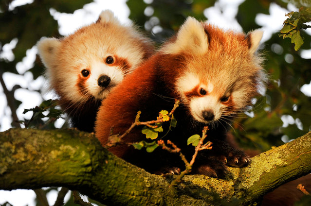 Red panda cubs emerge from their nest box at ZSL Whipsnade Zoo in Whipsnade, UK on October 26, 2015. (Photo by Tony Margiocchi/Barcroft Media)