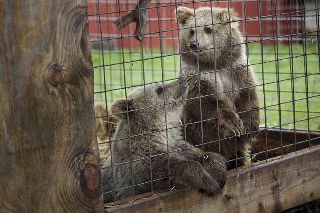 In this September 3, 2015 photo, two Syrian brown bears sit together in an enclosure  at Summer Wind Farms Sanctuary in Brown City, Mich. Summer Wind Farms Animal Sanctuary in Brown City was cited October 2015 for 13 violations of the Animal Welfare Act in the USDA's latest report on the facility. (Photo by Jeffrey M. Smith/The Times Herald via AP Photo)