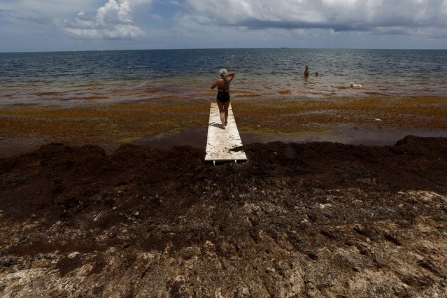 A woman walks on a makeshift bridge near Sargassum algae in Puerto Morelos, near Cancun, August 11, 2015. The Sargassum algae contains biting sand fleas and releases a pungent smell as it decomposes. It has choked beaches in resorts throughout the Caribbean including Cancun this season, prompting local authorities to launch a large-scale clean-up operation. (Photo by Edgard Garrido/Reuters)