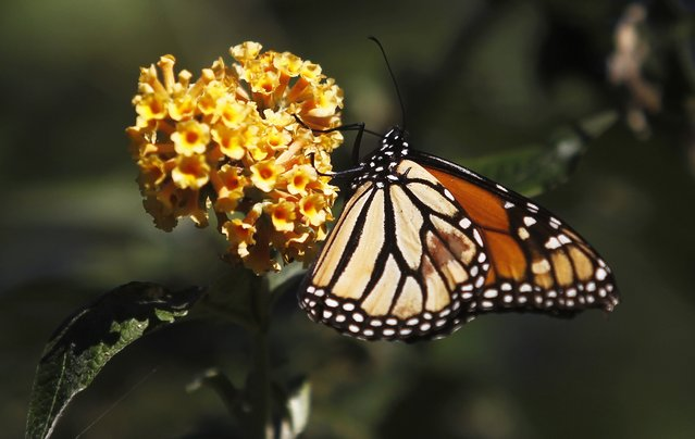 A monarch butterfly clings to a plant at the Monarch Grove Sanctuary in Pacific Grove, California, December 30, 2014. (Photo by Michael Fiala/Reuters)