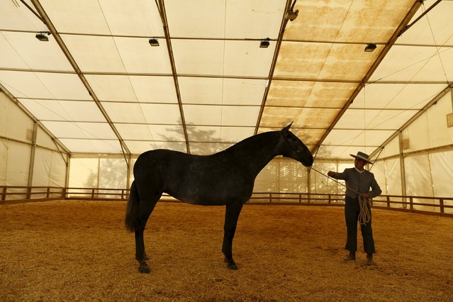 An Andalusian horseman rehearses before competing in a morphological contest for mares of two years during the Sicab International Pre Horse Fair which is dedicated in full and exclusively to the purebred Spanish horse in the Andalusian capital of Seville, southern Spain November 17, 2015. (Photo by Marcelo del Pozo/Reuters)