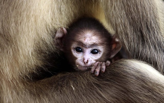 A langur baby looks out resting in the lap of its mother at the Khandagiri cave hills in the eastern Indian city of Bhubaneswar, India, Thursday, May 16, 2013. (Photo by Biswaranjan Rout/AP Photo)