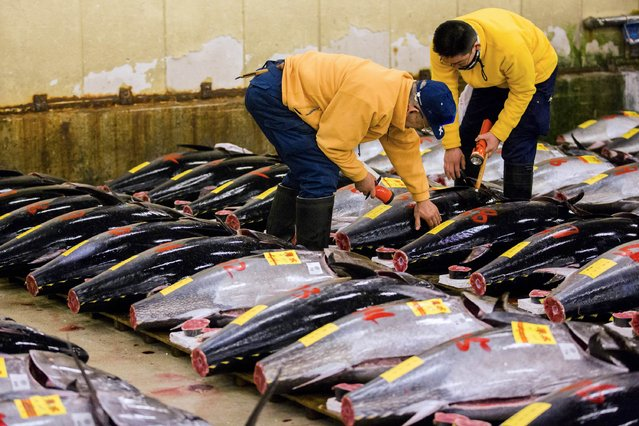 Wholesalers check the quality of a fresh tuna displayed at the Tsukiji fish market before the New Year's auction in Tokyo January 5, 2015. (Photo by Thomas Peter/Reuters)