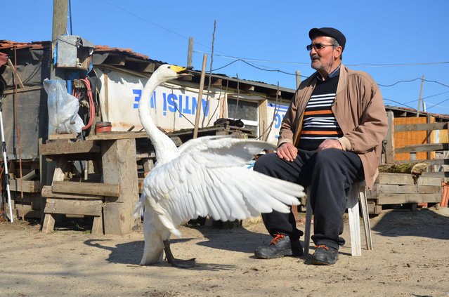 Recep Mirzan, a 63-year-old retired postman and Garip, a female swan that he rescued 37 years ago, share a moment in his farmhouse outside Karaagac, in Turkey's western Edirne province, bordering Greece, Saturday, February 6, 2021. Mirzan found the swan, wounded with a broken wing, in an empty field and took her to his home to protect her from wildlife. The swan follows the man whenever he is out of his pen, accompanying him when he is doing his chores around the farm or for his daily evening walks. (Photo by Ergin Yildiz/AP Photo)
