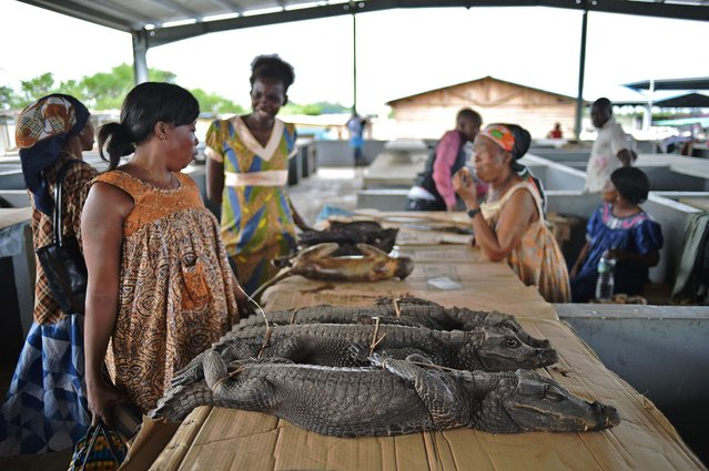 Shoppers walk past crocodiles for sale at a market in Bata on February 3, 2015. Markets in Equatorial Guinea sell a variety of animals including pangolins, monkeys and crocodiles as food. (Photo by Carl De Souza/AFP Photo)