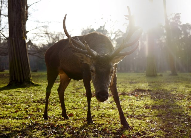 A stag looks straight into the camera on a sunny afternoon at a wildlife park in Hanau, Germany, December 28, 2015. (Photo by Kai Pfaffenbach/Reuters)