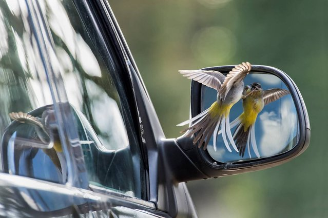"""Undated handout photo issued by the British Wildlife Photography Awards of """"Deadly Rivals"""" by Robin Orrow, winner of the Animal Behaviour category in the British Wildlife Photography Awards 2013. (Photo by Robin Orrow/BWPA/PA Wire)"""