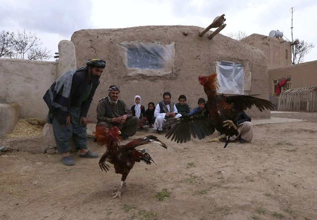 Afghans watch cocks fighting on the outskirts of Herat province February 10, 2015. (Photo by Mohammad Shoib/Reuters)