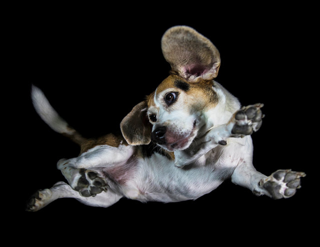 A photograph of a beagle taken from underneath on December 2016 in VA, Canada. (Photo by The Underdogs Project/Barcroft Images)