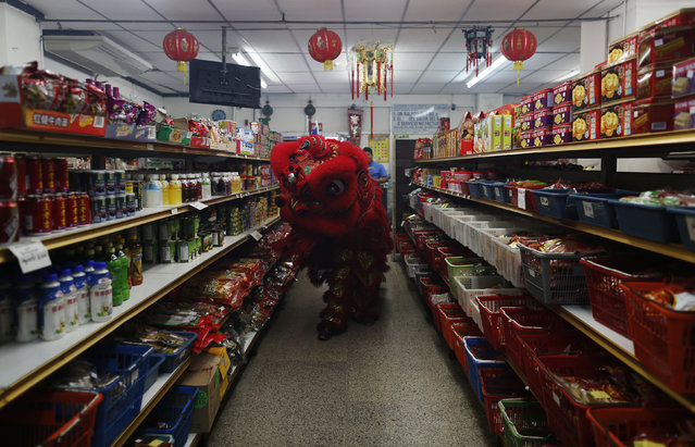Dancers perform a lion dance inside a local shop during celebrations of the Chinese Lunar New Year of the Monkey in Chinatown in Panama City, Panama, February 8, 2016. (Photo by Carlos Jasso/Reuters)