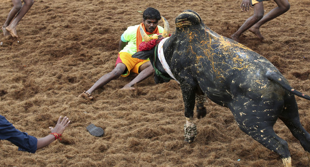 In this Wednesday, January 16, 2019, photo, a bull charges towards a tamer during a traditional bull-taming festival called Jallikattu, in the village of Palamedu, near Madurai, Tamil Nadu state, India. (Photo by Aijaz Rahi/AP Photo)