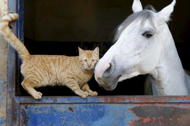A cat stands near a horse in Beirut, Lebanon February 16, 2016. (Photo by Mohamed Azakir/Reuters)
