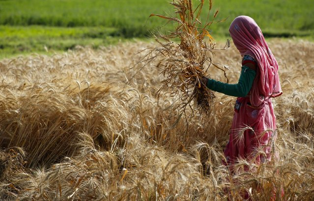 An Indian farmer harvests wheat crop that was partially damaged in unseasonal hailstorm and rain, on the outskirt of Ajmer, India, Tuesday, April 7, 2015. Unseasonal rainfall over large parts of northwest and central India caused widespread damage to standing crops. (Photo by Deepak Sharma/AP Photo)