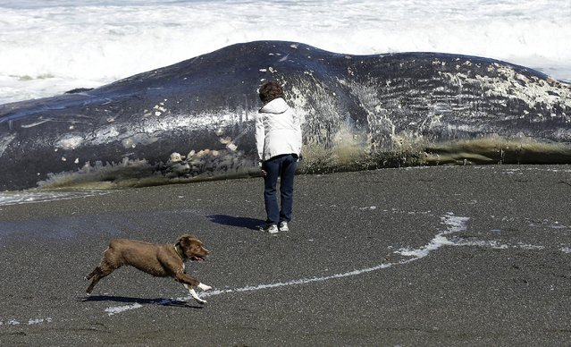 A woman looks at the body of a whale on the beach in Pacifica, Calif., Wednesday, April 15, 2015. The carcass of the 50-foot sperm whale washed ashore at the Pacifica beach just south of San Francisco. Officials from the Marine Mammal Center in Sausalito say it's not immediately clear how the animal died or what would be done with it. A necropsy is planned for Wednesday. (Photo by Jeff Chiu/AP Photo)