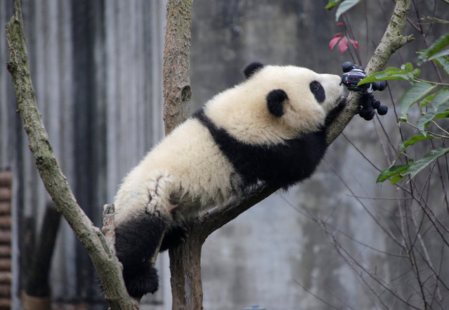 A baby giant panda is interested in a camera set up on a tree at Chengdu Research Base of Giant Panda Breeding in Chengdu, Sichuan province, China, January 22, 2017. (Photo by Jason Lee/Reuters)