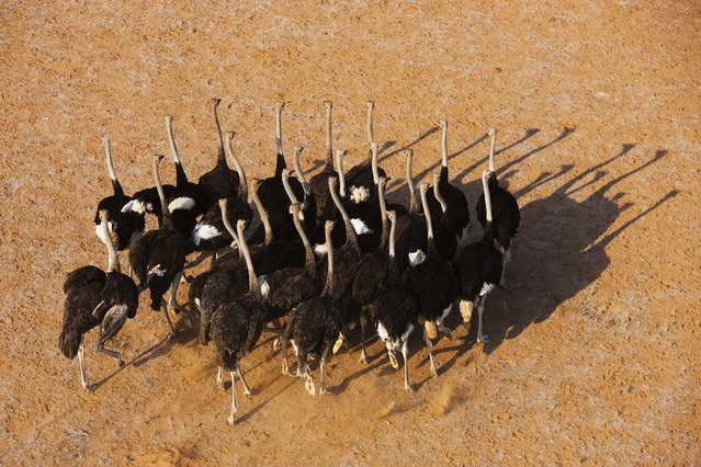 A flock of ostriches in the Huab River Valley, in October, 2014, in the Namib Desert, Namibia. (Photo by Theo Allofs/Barcroft Media)