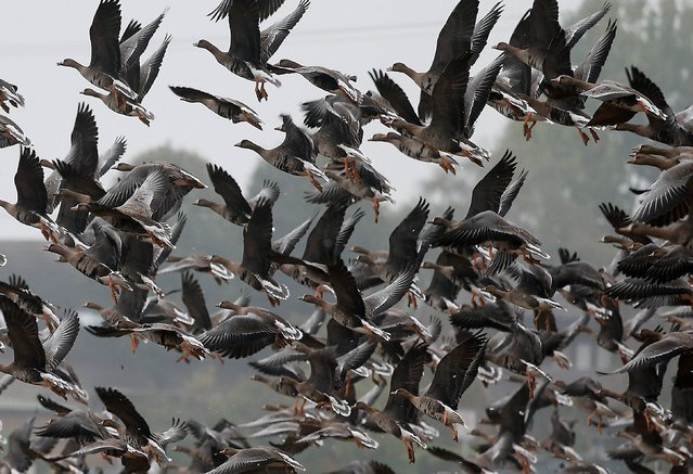 Wild Geese fly over a farm field in Xanten, Germany, Wednesday, October 16, 2013. The wild geese flew over from Siberia to stay over winter time in the lower Rhine area with it's warmer continental climate. (Photo by Frank Augstein/AP Photo)