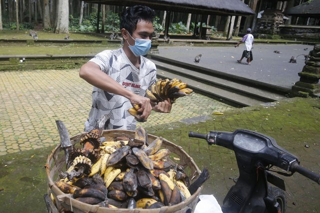 A worker prepares bananas to feed macaques during a feeding time at Sangeh Monkey Forest in Sangeh, Bali Island, Indonesia, Wednesday, September 1, 2021. Deprived of their preferred food source – the bananas, peanuts and other goodies brought in by the tourists now kept away by the coronavirus – hungry monkeys on the resort island of Bali have taken to raiding villagers' homes in the search for something tasty. (Photo by Firdia Lisnawati/AP Photo)