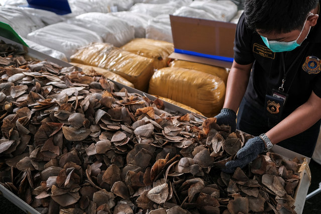 A customs officer holds up pangolin scales during a news conference at the customs department in Bangkok, Thailand, February 2, 2017. (Photo by Athit Perawongmetha/Reuters)