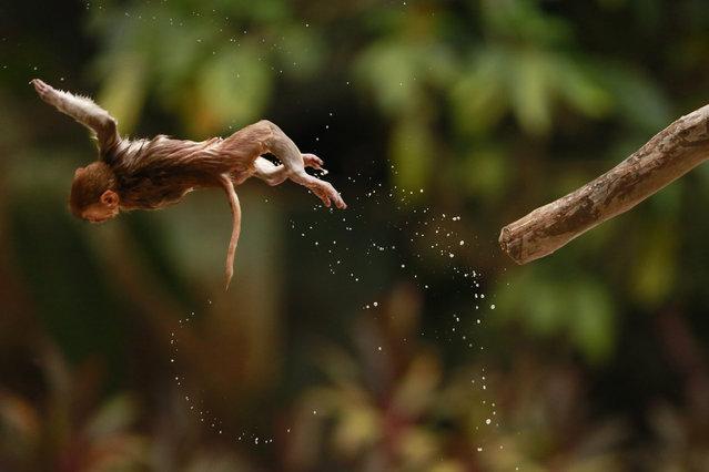 A monkey jumps from a branch at Yangon Zoological Gardens in Yangon, Myanmar, 06 April 2016. Yangon Zoological Gardens (Yangon Zoo) is the oldest and second largest zoo in Myanmar. (Photo by Lynn Bo Bo/EPA)
