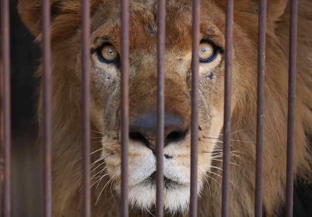 A former circus lion looks from inside his cage, in the outskirts of Lima, Peru, Tuesday, April 26, 2016. Thirty-three lions rescued from circuses in Peru and Colombia are heading back to their homeland to live out the rest of their lives in a private sanctuary in South Africa. The largest ever airlift of lions will take place Friday and was organized and paid for by Animal Defenders International. (Photo by Martin Mejia/AP Photo)