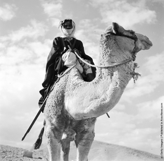 1950: A Bedouin sitting on a stationary camel in the Trans-Jordanian desert