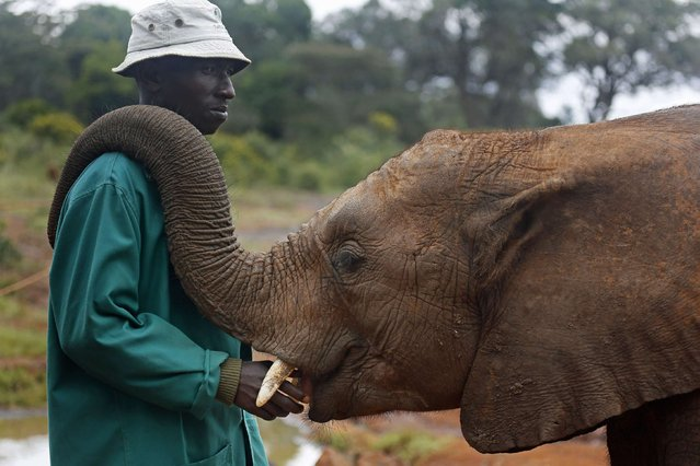 A keeper interacts with an orphaned elephant during feeding time at the David Sheldrick Wildlife Trust in Nairobi National Park, near Nairobi, Kenya, on April 17, 2014. (Photo by Reuters)