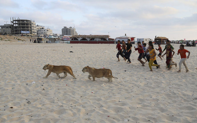 In this Monday, June 15, 2015 photo,  lion cubs Mona and Max walk as children run next to them at the beach of Gaza City, in the northern Gaza Strip. (Photo by Adel Hana/AP Photo)