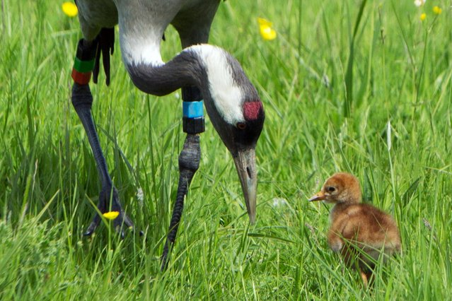 Undated handout photo issued by the Wildfowl & Wetlands Trust (WWT) of a crane chick with one of its parents at the Slimbridge Wetland Centre in Gloucestershire, one of two crane chicks to be hatched by Slimbridge cranes – Monty and Chris and the first in the west of Britain for 400 years. (Photo by Graham Hann/PA Wire/WWT)