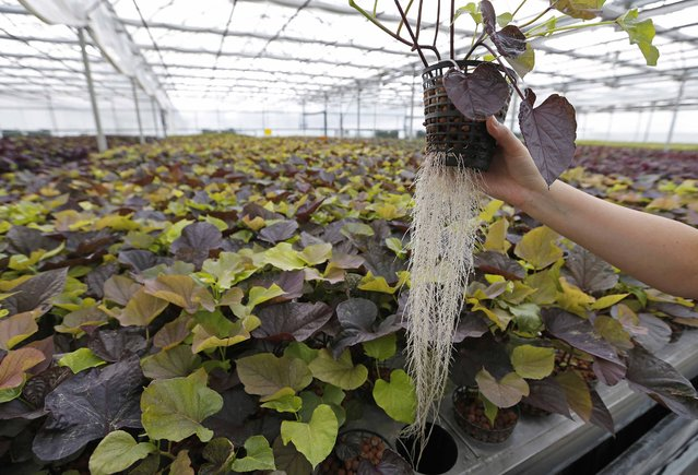 An employee holds a plant with roots at the Plant Advanced Technologies (PAT) company greenhouse in Laronxe near Nancy, Eastern France, June 19, 2015. (Photo by Vincent Kessler/Reuters)