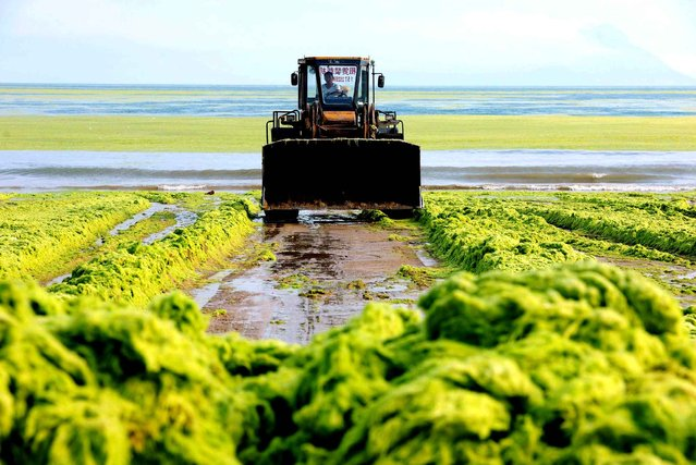 This picture taken on July 22, 2015 shows a worker clearing out algae from the water along a beach in Qingdao, in eastern China's Shandong province. (Photo by AFP Photo/Stringer)