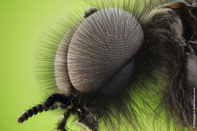The double compound eyes of a male St. Mark's fly (Bibio marci), submitted by Dr. David Maitland from Feltwell, UK