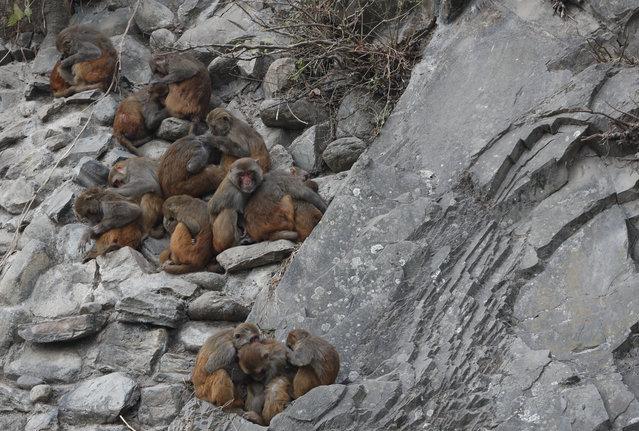Monkeys huddle to keep themselves warm at Swayambhunath Stupa in Kathmandu, Nepal, Wednesday, January 8, 2020. Swayambhunath Stupa is also known as the monkey temple, due to the large number of monkeys inhabiting the area. (Photo by Niranjan Shrestha/AP Photo)