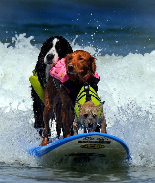 Dogs competes during the during the 6th annual Loews Coronado Bay resort surf dog competition in Imperial Beach