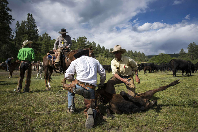 Cowboys David Thompson and Wyatt Williams release a calf after giving it medicine near Ignacio, Colorado June 12, 2014. The land where the cattle graze is leased from the Forest Service by third-generation rancher Steve Pargin. Several times a year, he and a crew led by his head cowboy, David Thompson, spend a week or more herding cattle from mountain range to mountain range to prevent them from causing damage to fragile ecosystems by staying in a single area too long. (Photo by Lucas Jackson/Reuters)