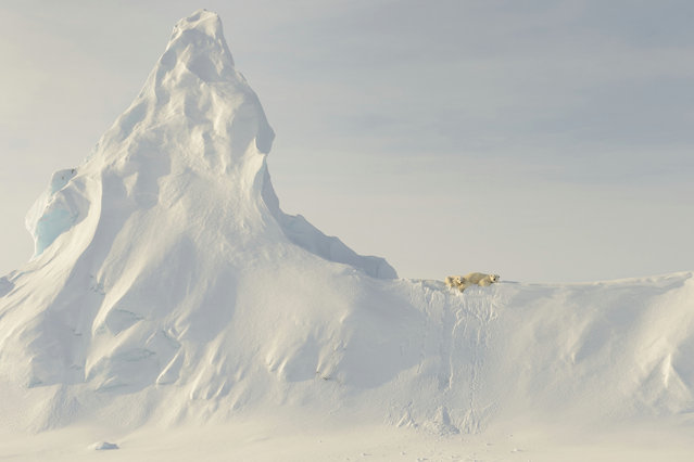 """Honourable mention, nature: Bears on a Berg. This photo was taken far out on the sea ice in the Davis Straight off the coast of Baffin Island. This mother and her yearling are perched atop a huge, snow-covered iceberg that got """"socked in"""" when the ocean froze over for the winter. To me, the relative """"smallness"""" of these large creatures when compared to the immensity of the iceberg in the photo represents the precariousness of the polar bear's reliance on the sea and sea ice for its existence. (Photo by John Rollins/National Geographic Travel Photographer of the Year Contest)"""