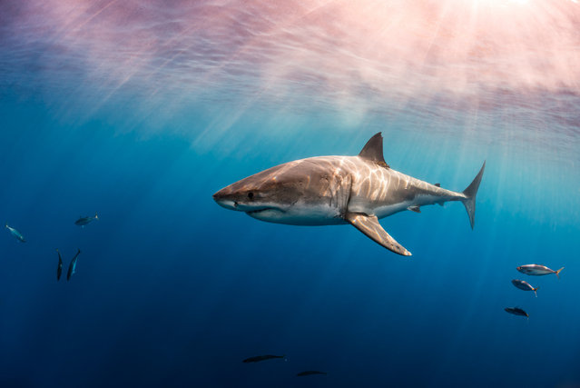 Great White shark, Isla Guadalupe. (Photo by Todd Bretl)