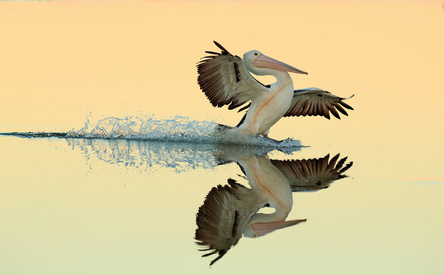 """A perfect landing by Bret Charman, New South Wales, Australia. Gold award winner in the birds in flight category. """"I was photographing Australian pelicans (Pelicanus conspicillatus) on the edge of a small mangrove swamp – they were resting in the calm, shallow waters and the soft evening light was providing the perfect conditions to capture reflections. I was photographing a portrait of an individual when I heard the wing beats of another bird coming into land and took this snap"""". (Photo by Bret Charman/2017 Bird Photographer of the Year Awards)"""