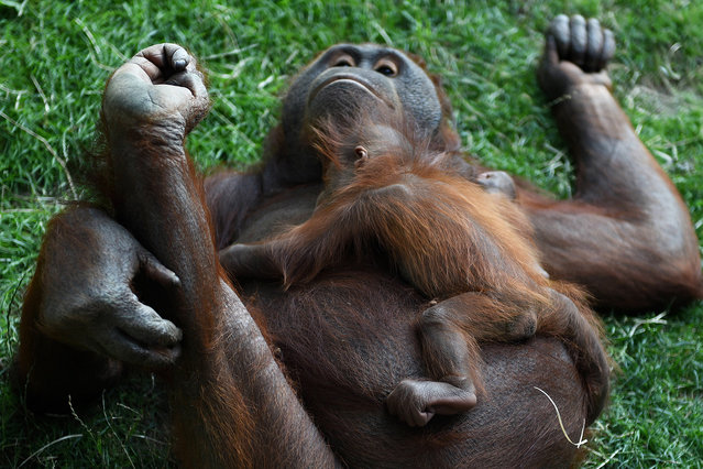 The newborn Bornean orangutan pictured with her mother Surya at Madrid zoo, Spain on July 11, 2016. (Photo by Jorge Sanz/Pacific Press via ZUMA Wire)