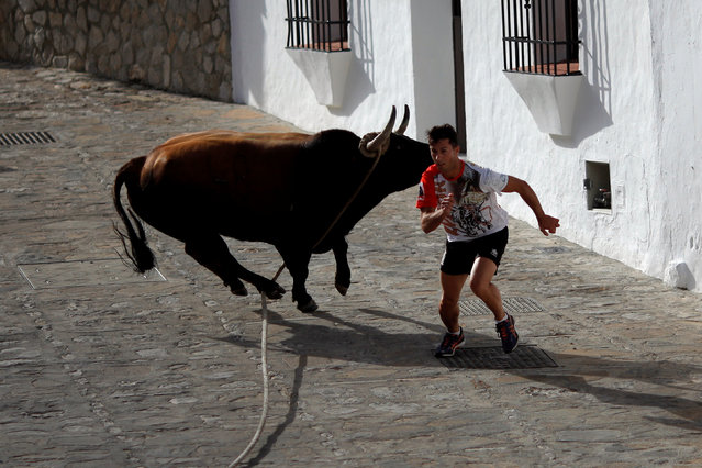 A runner sprints in front of a bull, named Argelino, during the 'Toro de Cuerda' (Bull on Rope) festival in Grazalema, southern Spain, July 18, 2016. Three bulls restrained by a rope are allowed to run through the streets of the village during the annual festival. (Photo by Jon Nazca/Reuters)
