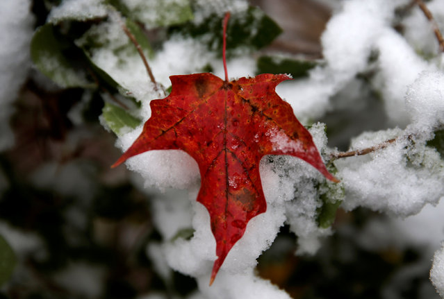 A red maple leaf is seen among new fallen snow in the village of Kingston, New York, U.S., as the first winter weather of the season moved into parts of the northeast U.S., October 27, 2016. (Photo by Mike Segar/Reuters)