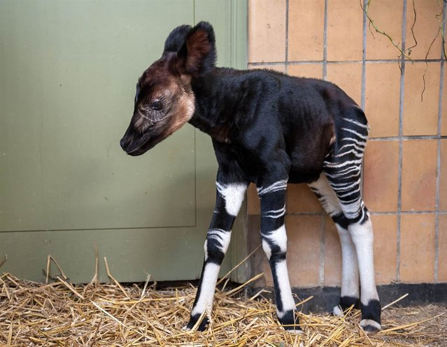 A male okapi, Nkosi, who was born last weekend at the Antwerp Zoo in Belgium, stands in his enclosure on September 20, 2012. Okapis live in northwestern Democratic Republic of Congo and are on the list of endangered species. (Photo by Johan Verhulst/AFP)