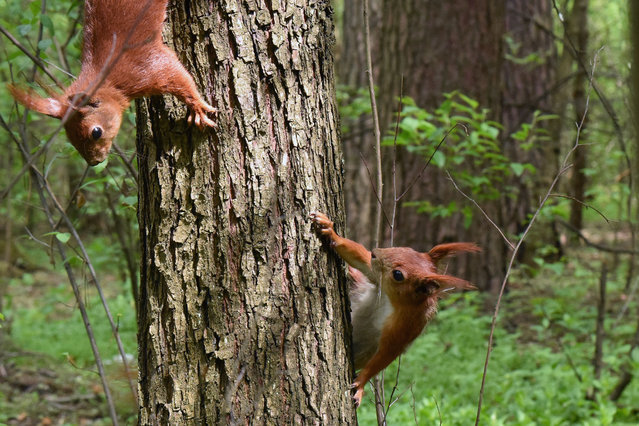 Squirrels climbing on a tree trunk in the Bilychi forest in Kyiv, the capital of Ukraine on May 5, 2020. (Photo by Ukrinform/Rex Features/Shutterstock)