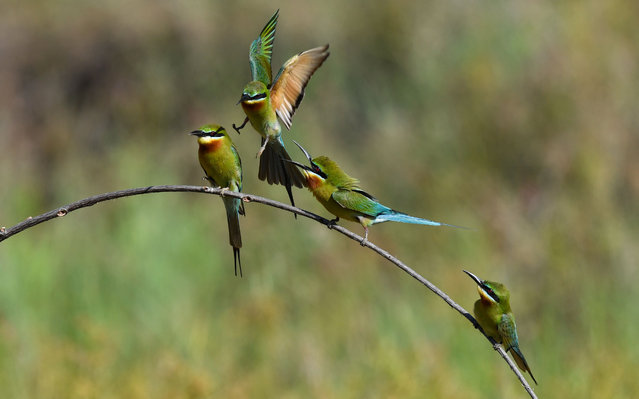 Blue-tailed bee eaters are seen in Haikou, south China's Hainan Province, May 7, 2020. Every year from spring to summer, bee eaters usually come to a fixed site for reproduction. Local authorities of Haikou has made full preparations for bee eaters to build a better habitat during their breeding season. (Photo by Xinhua News Agency/Rex Features/Shutterstock)