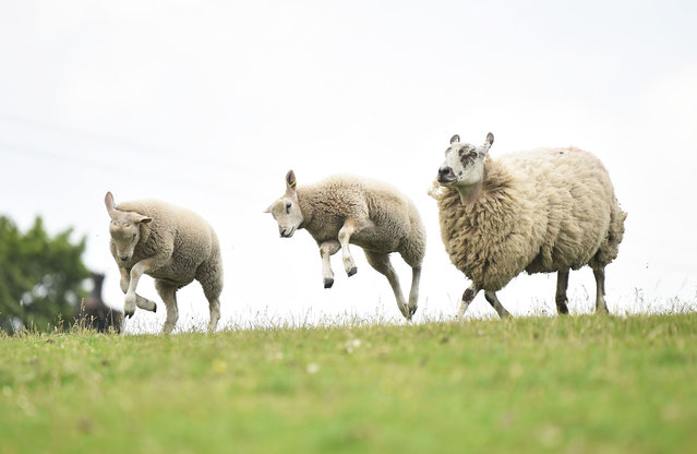 Two lambs and a sheep make their way to the pen as Farmers Philip Stirk and Chris Hynes prepare to shear them at Pines Lane Farm on June 13, 2020 in Staffordshire. As the British government further relaxes Covid-19 lockdown measures in England, this week sees preparations being made to open non-essential stores and Transport for London handing out face masks to commuters. International travelers arriving in the UK will face a 14-day quarantine period. (Photo by Nathan Stirk/Getty Images)