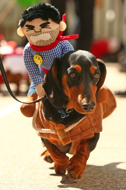 A mini dachshund competes in the Hophaus Southgate Inaugural Best Dressed Dachshund competition on September 19, 2015 in Melbourne, Australia. (Photo by Scott Barbour/Getty Images)