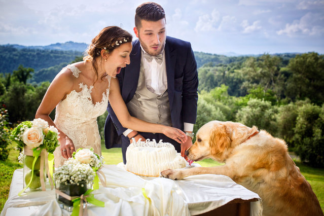 A dog helps himself to some wedding cake. (Photo by Fabio Mirulla/Caters News Agency)