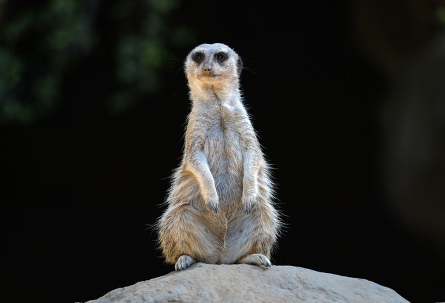 A Meerkat keeps watch at the Los Angeles Zoo as another heat wave hits Los Angeles on October 6, 2014. (Photo by Mark Ralston/AFP Photo)